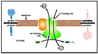 Diagram of carrier protein, which actively pumps Na+ out of and K+ into a cell. For every molecule of ATP hydrolyzed inside the cell, three Na+ are pumped out and two K+ are pumped in.