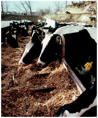 A herd of Holsteins eat silage from troughs on a Minnesota farm. Modern agriculture is now a big business, which is driven by ever increasing scientific knowledge.