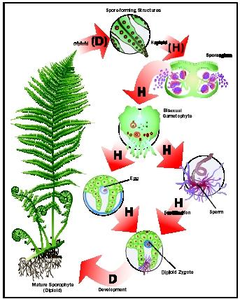 Alternation of Generations - Biology Encyclopedia - cells, plant ...