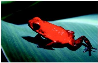 A strawberry poison arrow frog in Costa Rica.