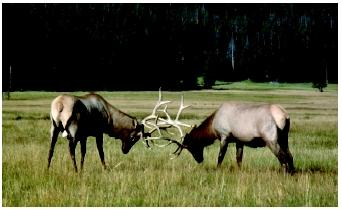Elk fighting for dominance in a Wyoming herd. Common patterns of behavior are exhibited by many species.