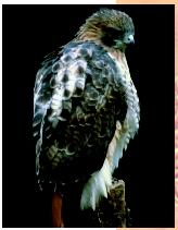 A red-tailed hawk. Aside from birds, no other living animal has feathers.