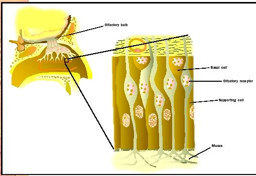 The olfactory epithelium.