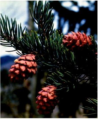 All conifers bear seeds inside cones, woody protective structures.