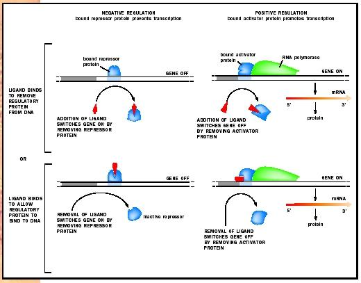 The mechanisms by which gene regulatory proteins control gene transcription in prokaryotes. A ligand is a small molecule that binds to a protein.