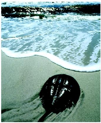 A horseshoe crab on Fire Island National Seashore, New York. The Crustacea are a large and diverse group with more than forty thousand species.