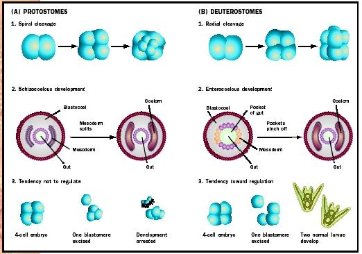 Development in protostomes and deuterostomes.