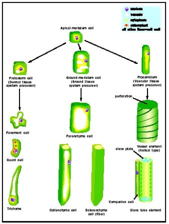 Figure 1. Distinct plant cell types are all ultimately derived from apical meristems.