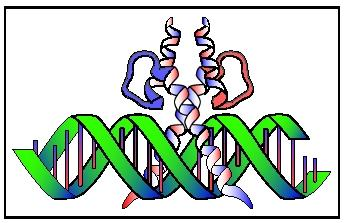 A helix-loop-helix dimer bound to DNA.