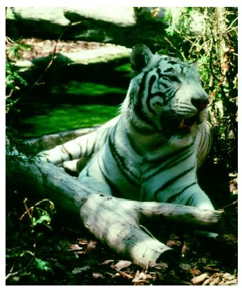 A white tiger (Panthera tigris) in a zoo. For some species, the only feasible way to preserve the species is to bring all the remaining individuals into captivity.