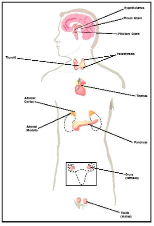 endocrine system - biology encyclopedia - cells, body, examples, Human Body