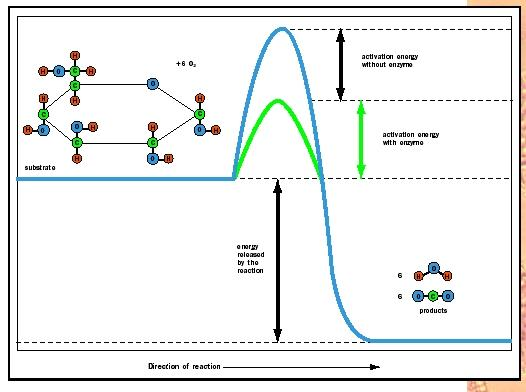 Figure 2. An energy profile for the glucose reaction. An enzyme (green) enhances the reaction rate by lowering the amount of activation energy required to boost the reactants to the transition state at the summit of the energy barrier.
