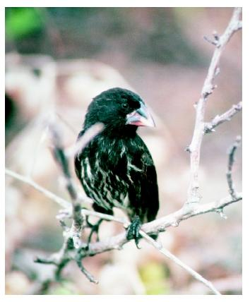 A cactus finch in the Galapagos Islands, where Charles Darwin began to formulate his theory of evolution. Darwin observed that regions isolated from each other often had different but similar species.