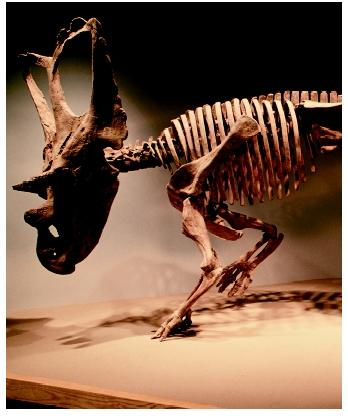 A dinosaur skeleton on display at the Royal Terrell Museum in Dinosaur Provincial Park in Alberta, Canada.