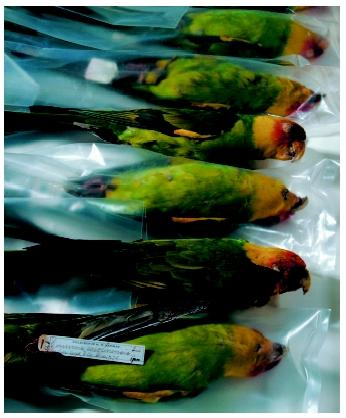 Carolina parakeets collected in 1870 and housed in the British Museum of Natural History in Tring, England. Many of these birds were shot becaue they were eating fruit crops. Within a few decades, the species was extinct.