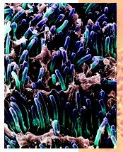 A colored scanning electron micrograph of rod cells (blue and purple) in the retina of a human eye.