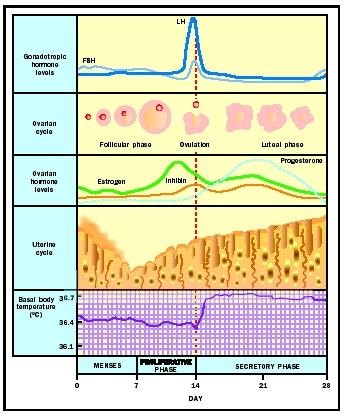 Hormonal profiles throughout the ovarian and uterine cycles with basal body temerature.