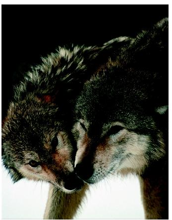 Gray wolves (Canis lupis) exhibiting submissive behavior. Studies of animal behavior seek the causes of behavior, how it has evolved over time, and how it contributes to a species' survival.