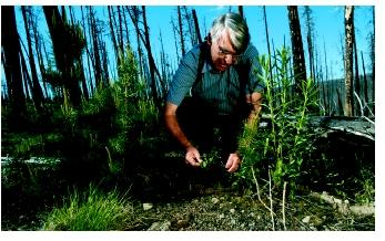 A plant ecologist measures lodgepole pine seedling growth in Yellowstone National Park in Wyoming. Seven years after the fire of 1988, there were ten times as many seedlings in the area than before the fire.