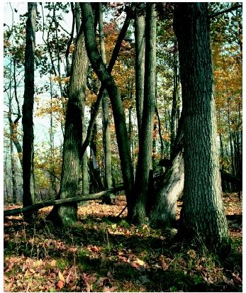 A temperate forest in autumn. The central deciduous oak-hickory forest is just one of the six main North American temperate forest groups.