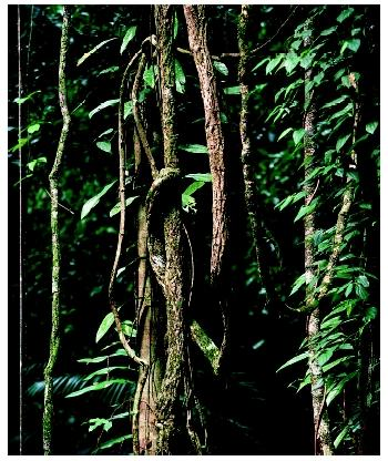 Moss-covered lianas in the Daintree National Park in Queensland, Australia.