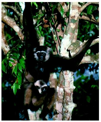 An Agile gibbon (Hylobates agilis) with a baby in a Borneo rain forest.