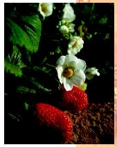 A strawberry plant with blossoms and fruit. The true fruit of the strawberry is not the fleshy tissue but the tiny seedlike achenes on the surface of the berry.