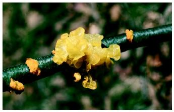 Dark yellow Witches' Butter (Tremella species) jelly fungus.