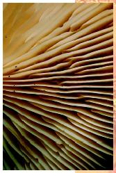 The gills of a mushroom. Although superficially similar to plants, fungi are members of a distinct kingdom.