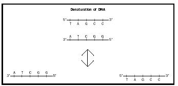 Figure 1. Denaturation uses heat or chemicals to separate the two strands of DNA in the double helix. Hybridization experiments begin by denaturing different DNAs, and then allowing them to reassemble.
