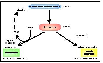 Glycolysis and fermentation biology encyclopedia cells body in the absence of oxygen the pyruvate is converted to nad in reactions collectively referred to ccuart Image collections