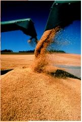 A wheat harvest in Polouse Valley, Washington. Wheat is the top food crop consumed by humans.