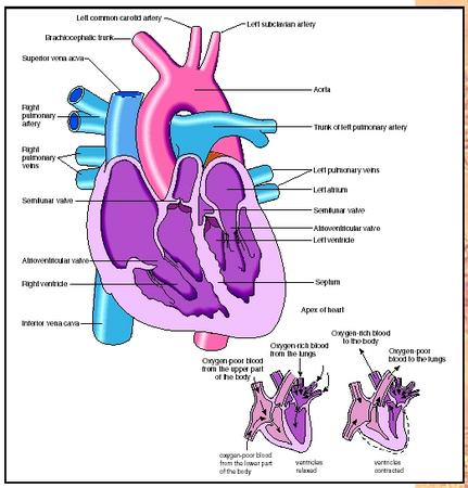 structure of heart in human body
