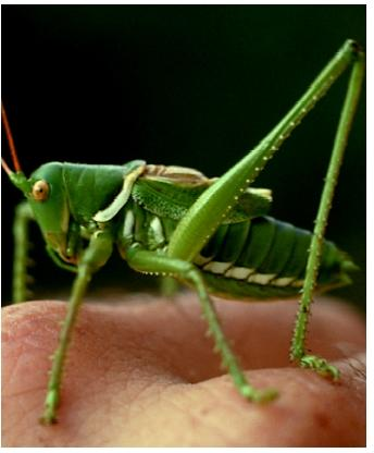 A katydid. Insects are distinguished by having three major body segments (head, thorax, and abdomen), with three pairs of legs attached to the thorax.