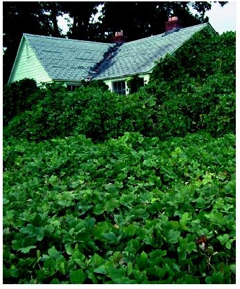 Kudzu overgrowing a house in Tennessee. Kudzu was intentionally introduced in the United States, but it spread very rapidly beyond its initial range of introduction.