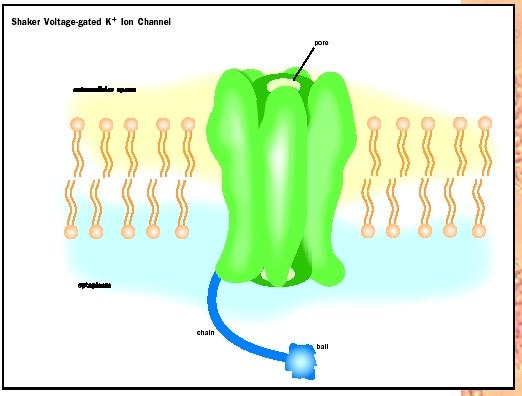 The shaker-type voltage-gated potassium channel of nerve and muscle provides a good example of the parts of the ion channel.