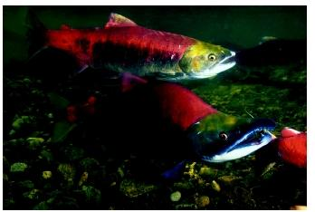 Spawning sockeye salmon run the Fraser River in British Columbia. When salmon mature, they migrate back up the same river in which they were born to reproduce and complete their life cycle.