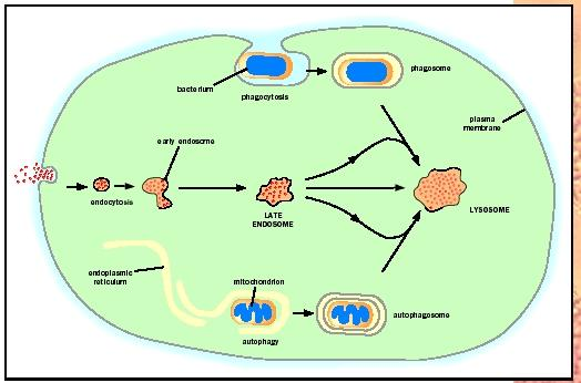 Three routes to degradation in lysosomes.