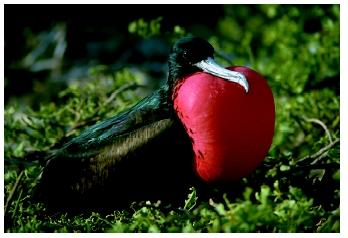 A male frigate bird with its throat pouch inflated to attract females.