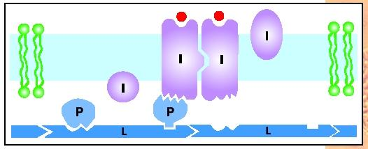 Membrane proteins can be integral (I) or peripheral (P), determined by their amino acid structure. Peripheral proteins bind to integral proteins and to cytoskeletal proteins (L).