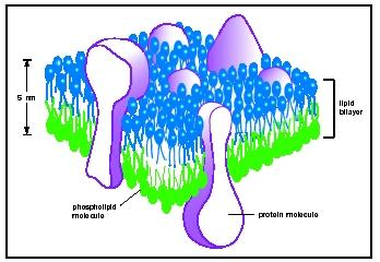 Three-dimensional view of a cell membrane.