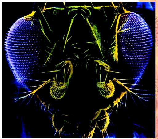 Scanning electron micrograph of the head of a fruit fly (Drosophila melanogaster).