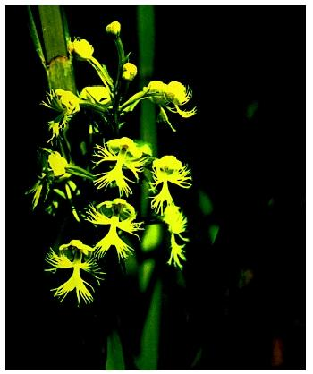 An Eastern prairie fringed orchid (Plantanthera leucophaea), a type of monocot.
