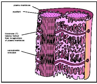 Microstructure of a muscle cell showing the close association of the sarcoplasmic reticulum and the myofibrils.