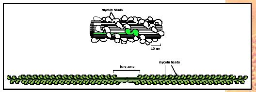 Myosin heads in a myosin thick filament cluster to the outside, with the tails lining up inside. The heads on either end point in opposite directions. During muscle contraction, the heads pull actin filaments together toward the center bare zone, contracting the muscle fiber.