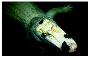 A white American alligator shows a genetic mutation known as leucism. This allele controls migration of pigment cells during development; absence in cells leads to white patches on the skin.