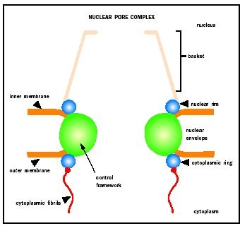 The structure of the nuclear pore complex.