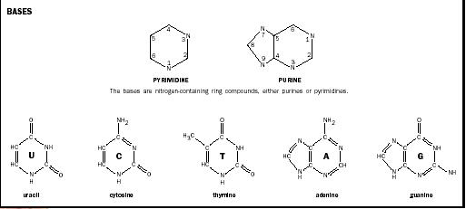 The molecular structures of the five nitrogenous bases.