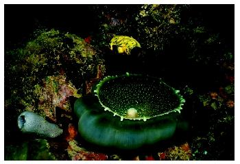 The anemone, tunicate, oyster, and sponge are examples of benthic fauna at the bottom of a lagoon in the Truk Islands.