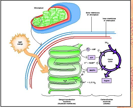 stages of photsynthesis Photosynthesis takes place inside plant cells in small things called chloroplasts chloroplasts (mostly found in the mesophyll layer) contain a green substance called chlorophyll.
